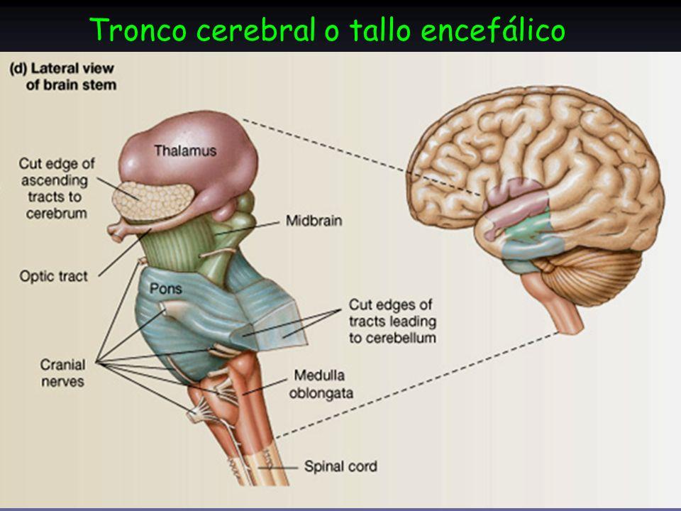 ver-Sistema-Nervioso-Central-17
