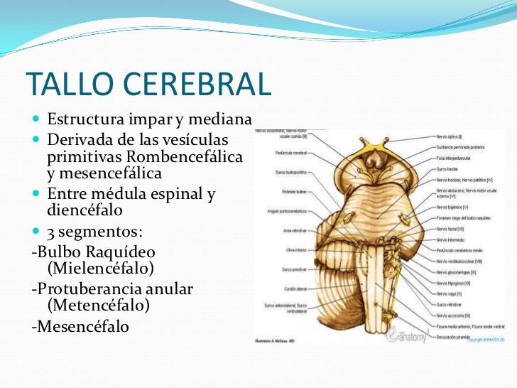 ver-Sistema Nervioso Central-25