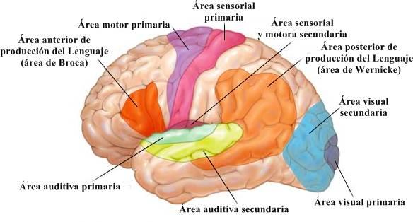 ver-Sistema Nervioso Central-27