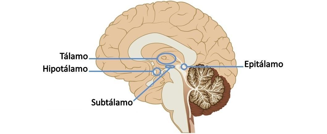 ver-Sistema Nervioso Central-41
