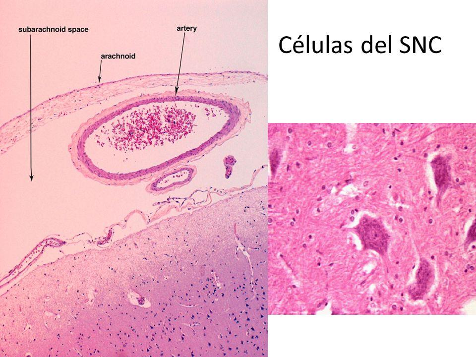 ver-Sistema-Nervioso-Central-43