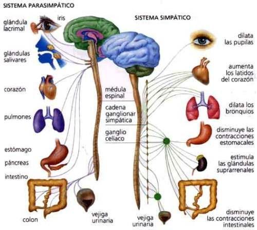 ver-Sistema Nervioso Central-50