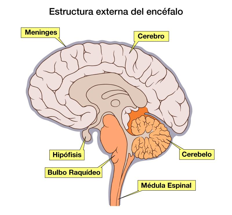 ver-Sistema Nervioso Central-8