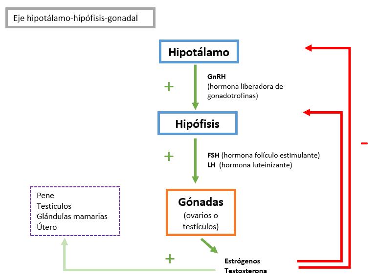 HORMONA LUTEINIZANTE