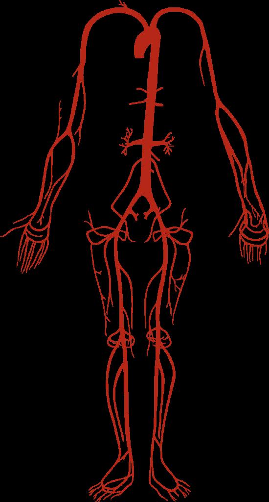 vertebral body diagram arteria braquial anatom  a  funci  n  ubicaci  n y mucho m  s  arteria braquial anatom  a  funci  n  ubicaci  n y mucho m  s