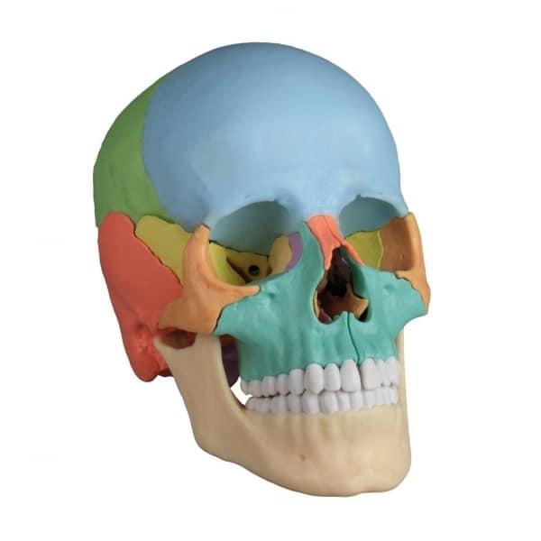 Articulación del cráneo distribución