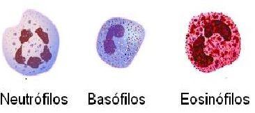 Basófilos