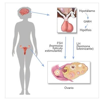 hormonas fsh