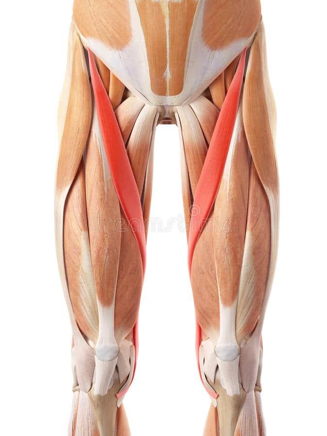 Vena femoral: anatomía, función, localización superficial ...