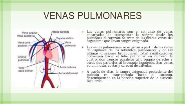 venas pulmonares