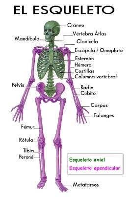 ¿Sabe Cuántoshuesostiene el cuerpo humano?