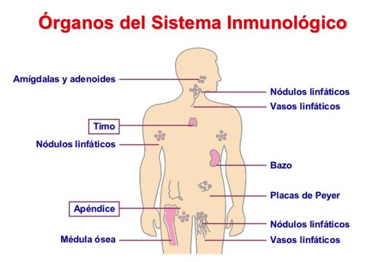 órganos del sistema inmunológico