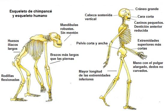 huesos cortos