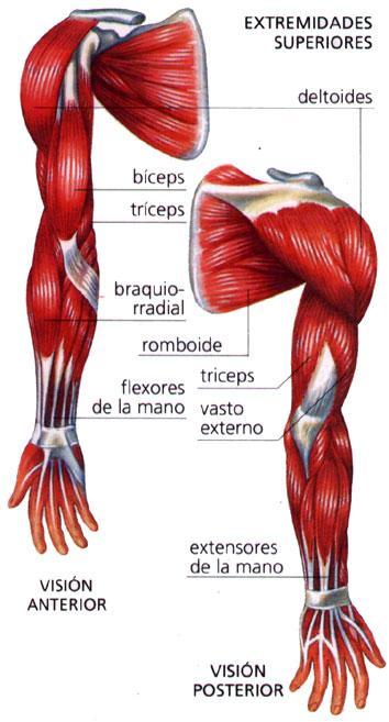 Músculos del brazo: ¿Qué son? Anatomía, función, dolor, partes y mucho más