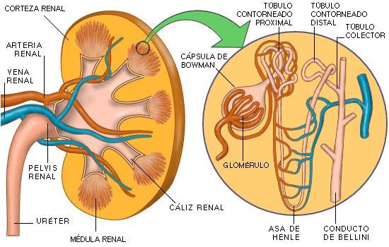 partes del riñón