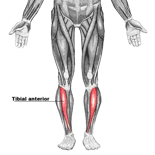 Tibial Anterior