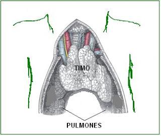anatomía del sistema linfático