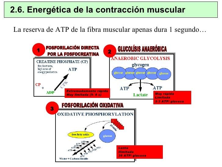 Tipos de contracción muscular-10