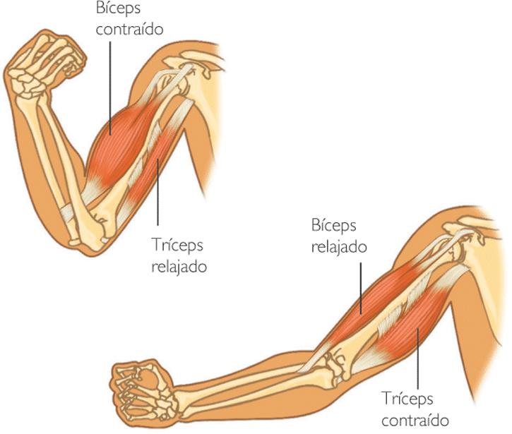 Contracción Muscular Qué Es Fisiología Tipos Y Mucho Más