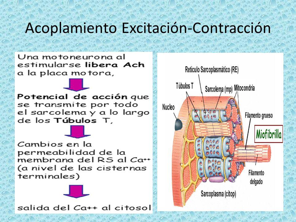 Tipos de contracción muscular-12
