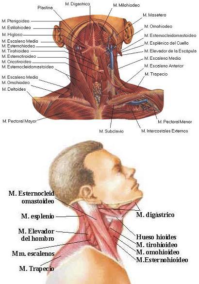 Clasificación de los Músculos-13