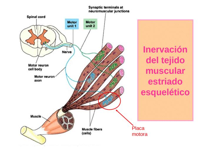 Tipos de contracción muscular-15