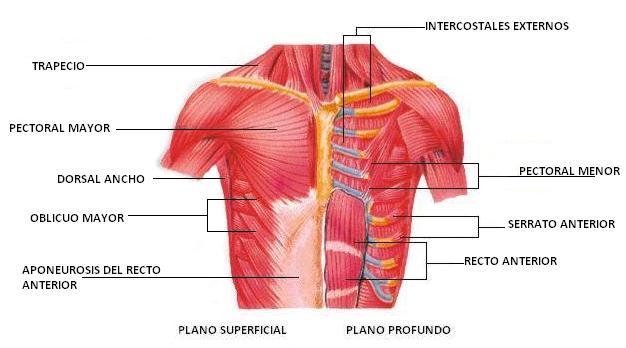 Clasificación de los Músculos-17