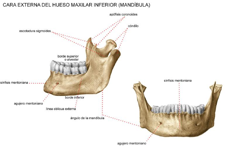 Huesos axilares-13