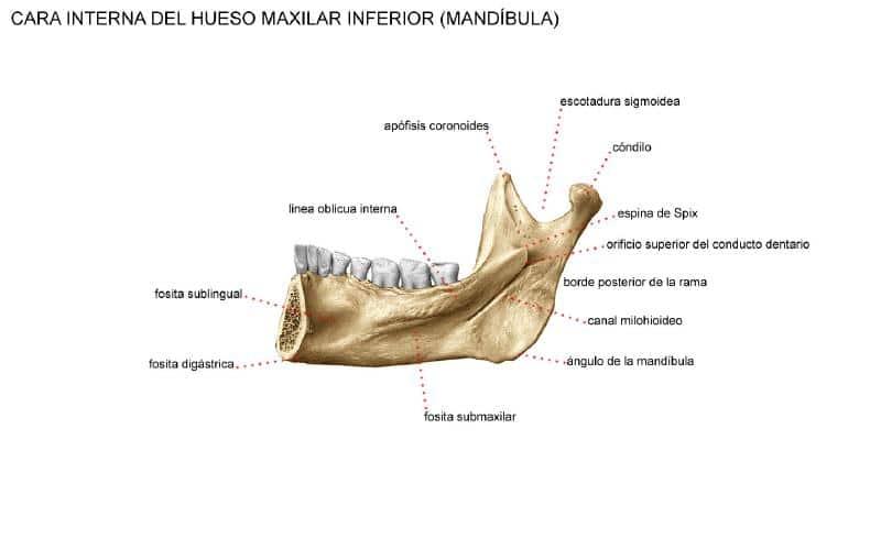 Huesos maxilares-14
