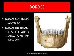 Huesos maxilares-15