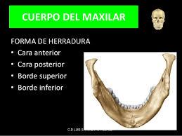 Huesos maxilares-16