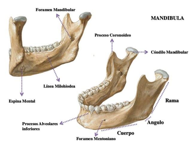 Huesos maxilares-17