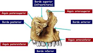 Huesos maxilares-2