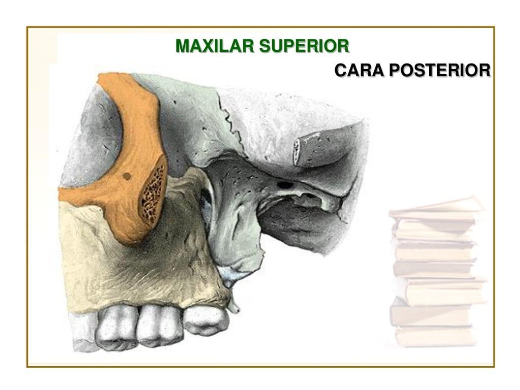 Huesos maxilares-3