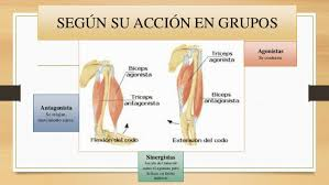 Clasificación de los Músculos-7