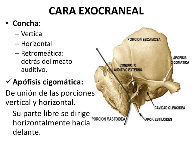 Huesos maxilares-5