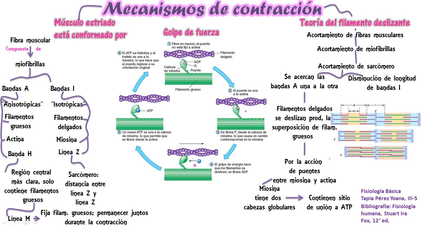 Tipos de contracción muscular-9