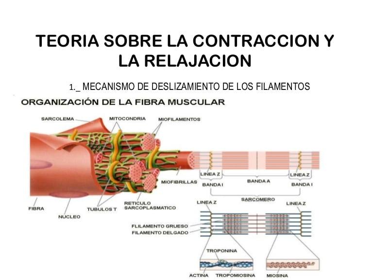 Tipos de contracción muscular-11