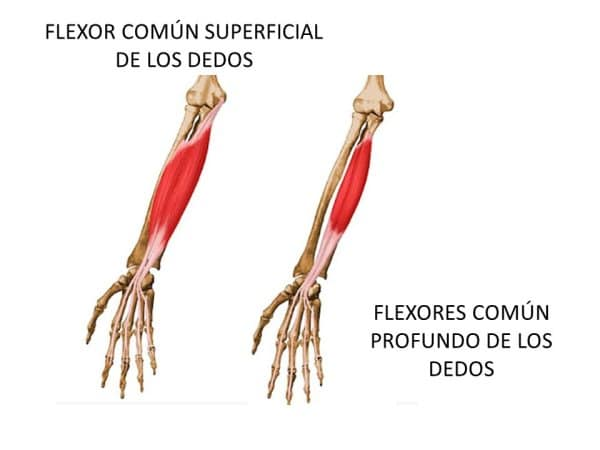 Músculos Del Antebrazo Origen Funciones Y Más