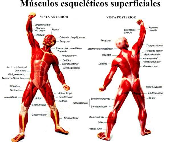 Músculos esqueléticos