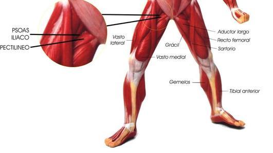 Características del sistema muscular