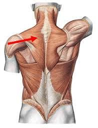 Clasificación de los Músculos-18