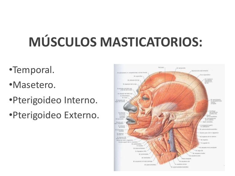 Clasificación de los músculos-21