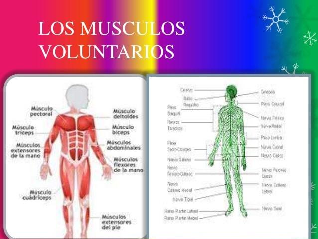 Clasificación de los músculos-25
