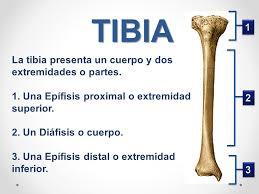 Hueso tibia-4