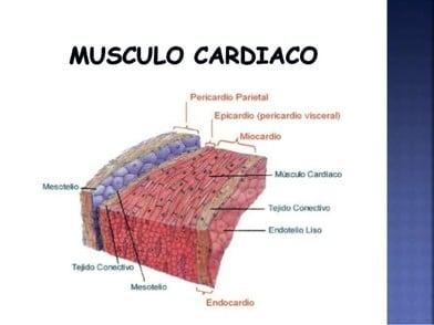 Clasificación de los Músculos-5