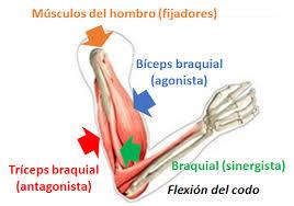 Clasificación de los Músculos-8