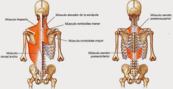Clasificación de los Músculos-19