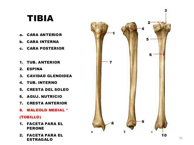 Hueso tibia-2