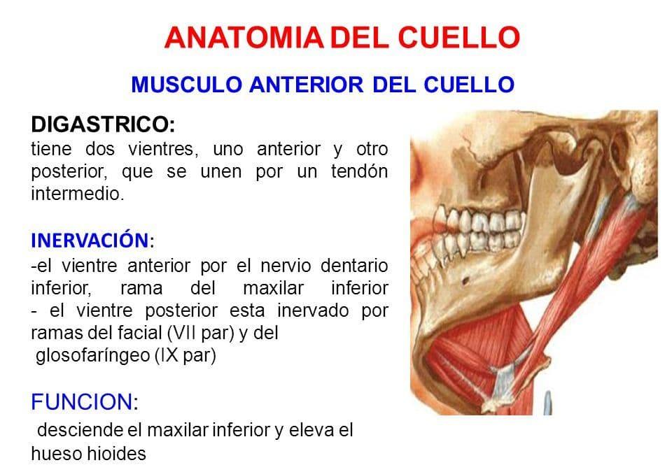 músculo digástrico